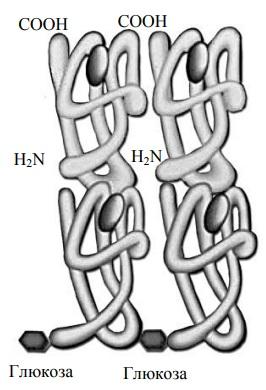 Схема строения гликозилированного гемоглобина